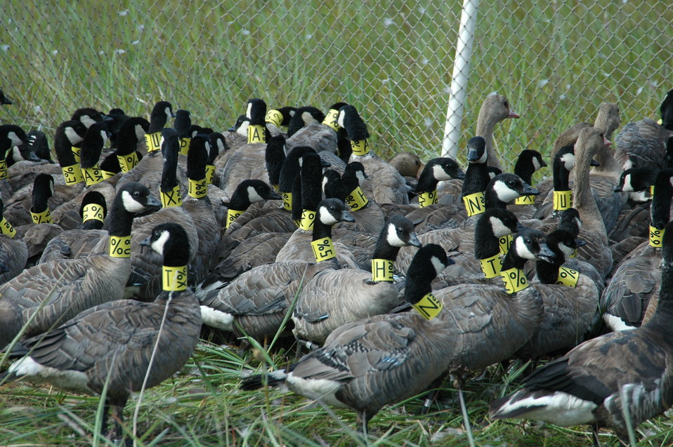 Holding pen full of collared cackling geese