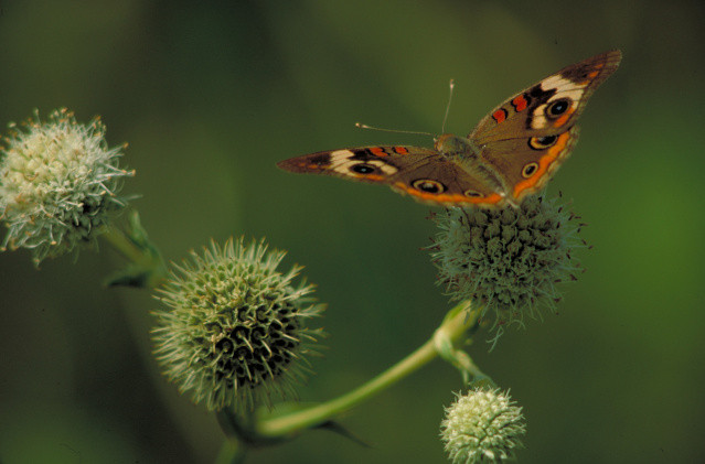 common buckeye on rattlesnake master