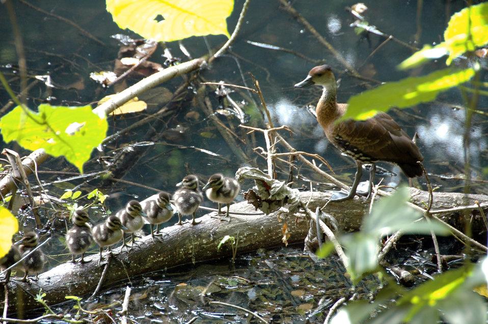 WIWD ducklings