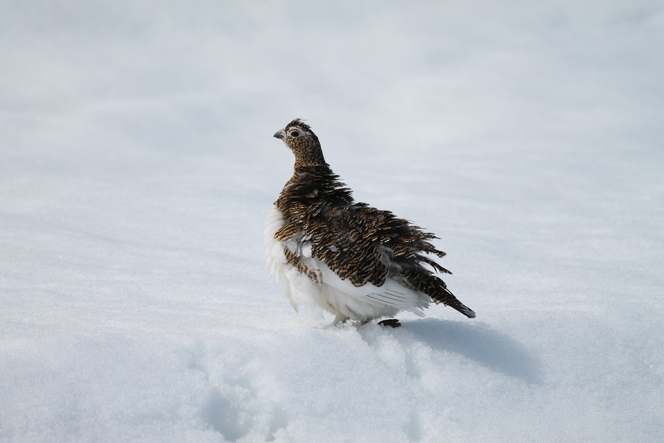 Ptarmigan fluffing feathers