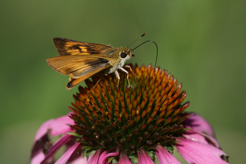 Skipper on Coneflower