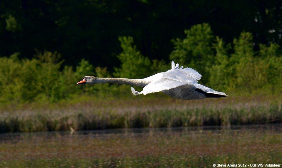 Mute Swan (Cygnus olor) Great Meadows NWR, Concord, MA