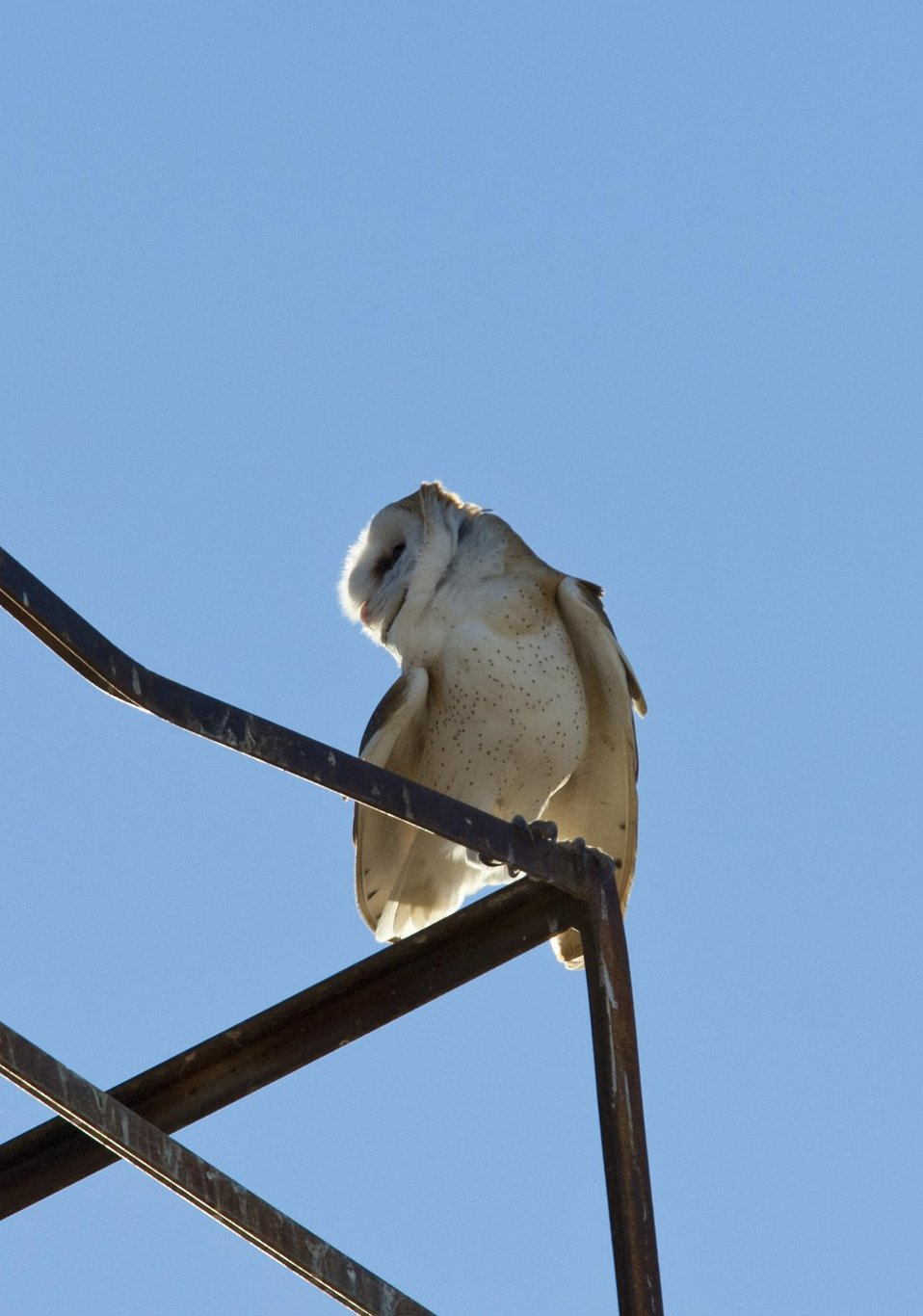 Barn Owl, Carrizo Plain 1