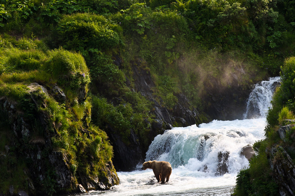 Kodiak brown bear in Dog Salmon Falls