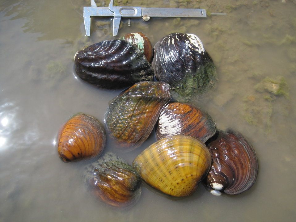 Mussel Species Survey Marais des Cygnes National Wildlife Refuge 2011