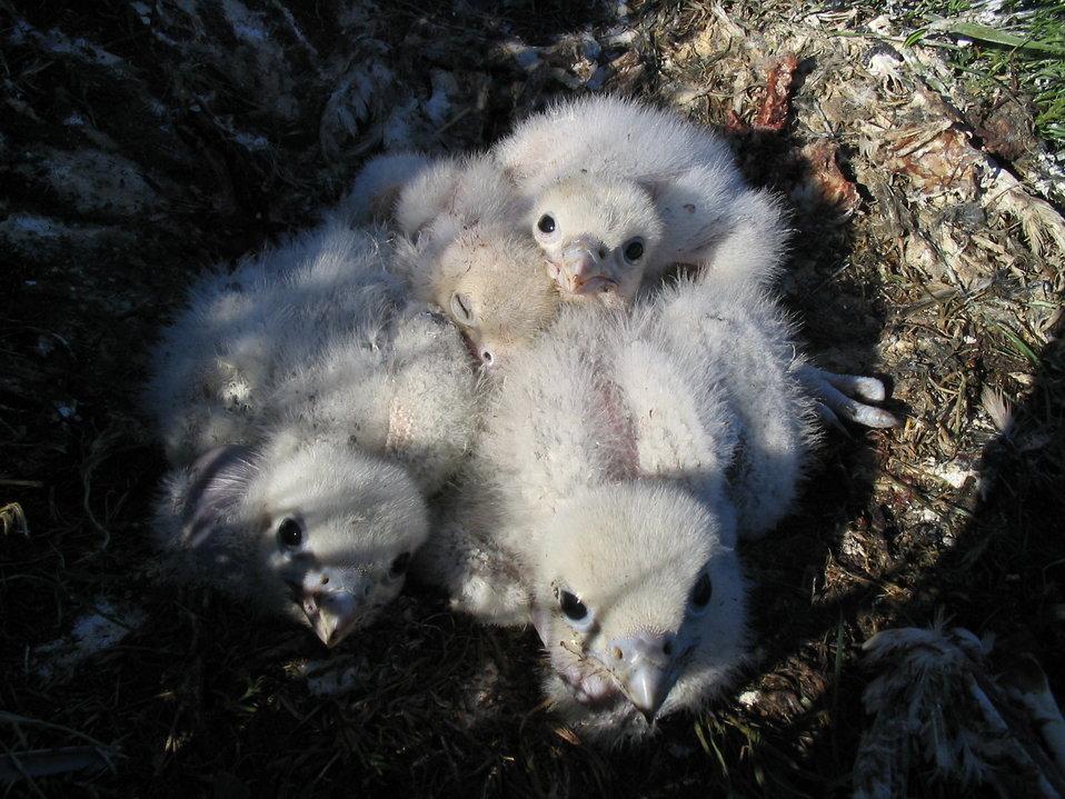 Gyrfalcon nestlings in nest