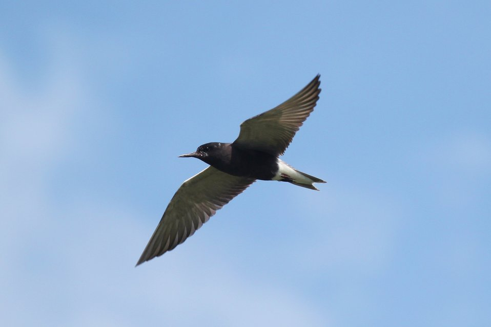 Black tern flying