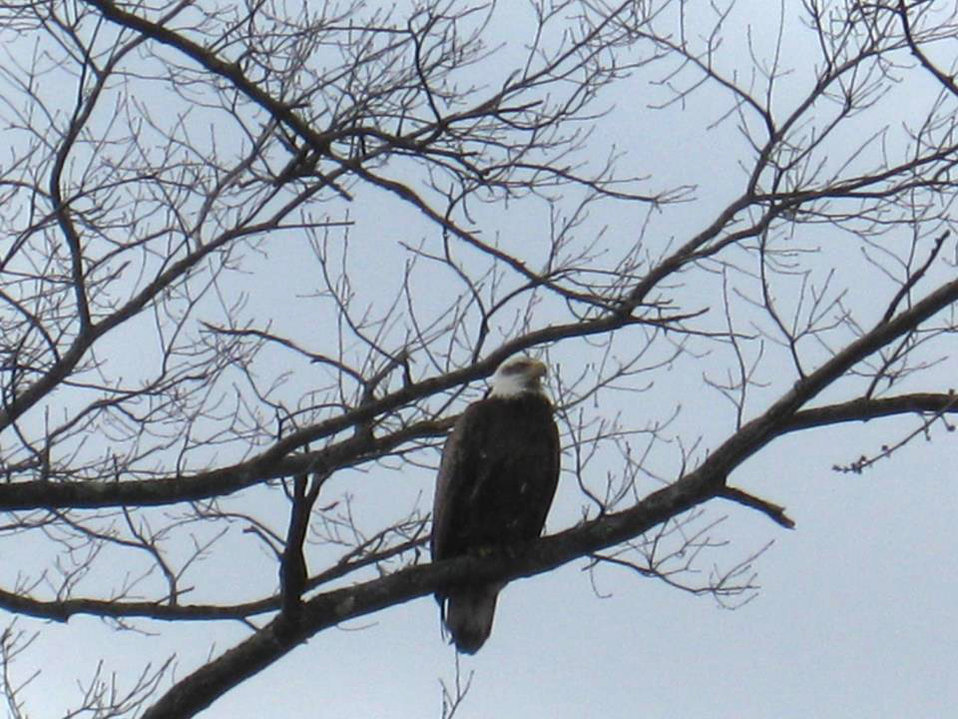 Bald Eagle photographed in West Brookfield (MA)
