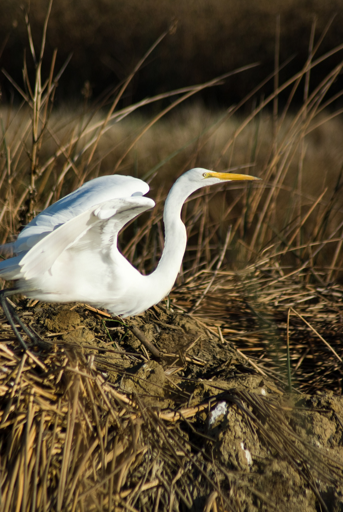 Great egret at Sacramento Refuge