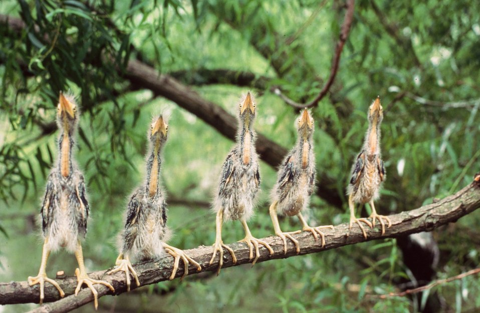 Photo of the week: 5 Young Green Herons on a Branch, Roy W. Lowe, USFWS Pacific Region
