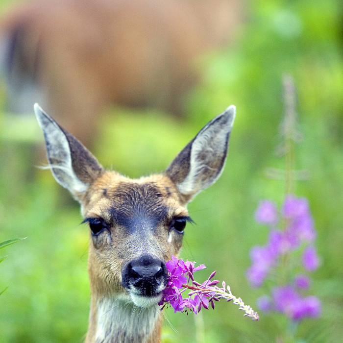 sitka black-tailed deer with fireweed