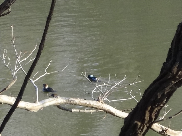Hooded Mergansers on the Marais des Cygnes River