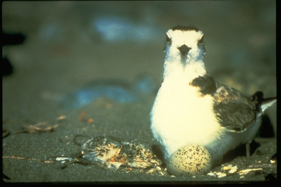 A Snowy Plover with a newborn and an egg.