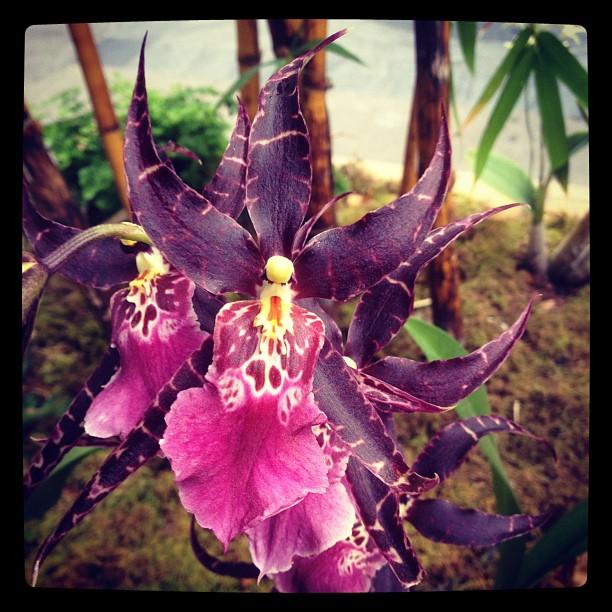 Aliceara Memoria Jay Yamada 'Kauai' Orchid