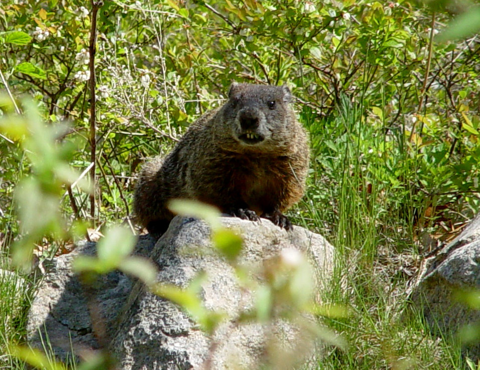 Photo of the Week - Woodchuck (RI)