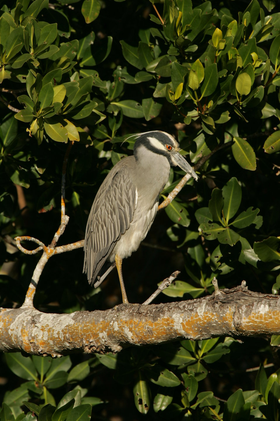 Yellow-crowned Night-Heron, J.N. 'Ding' Darling NWR