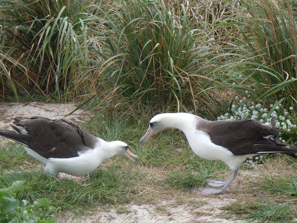 Laysan albatross courtship dance