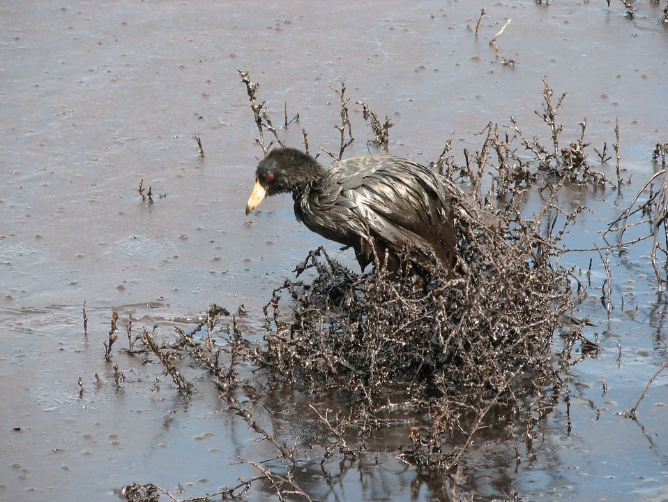 American Coot in Oil-covered Pond