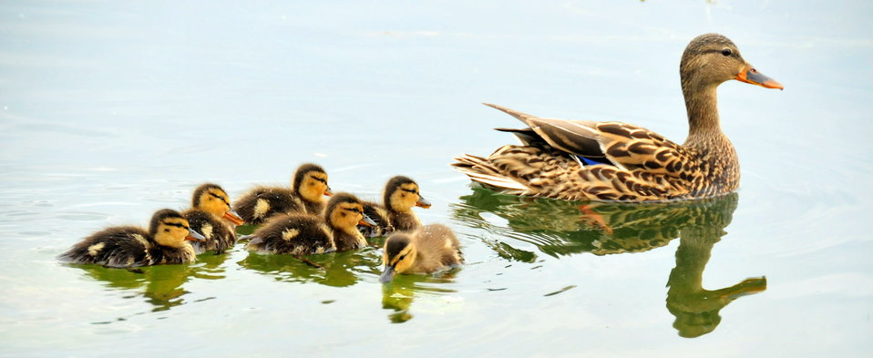 Mallard Hen and Her Brood 6