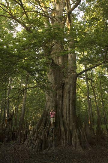 Champion Cypress Tree, White River Refuge