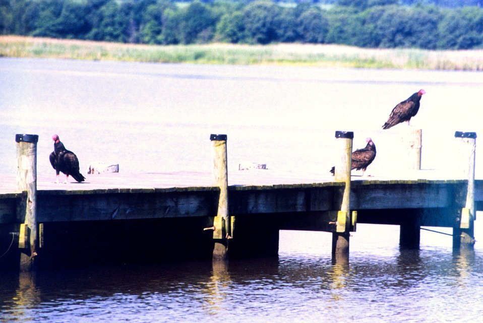 Turkey vultures on a Patuxent River pier.