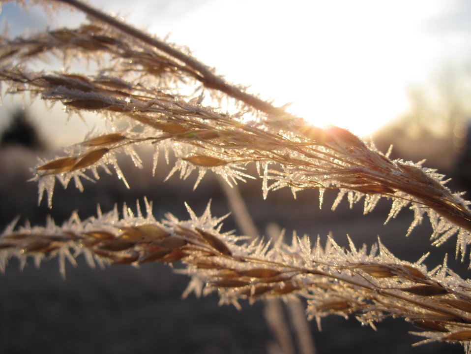Frost on Indiangrass