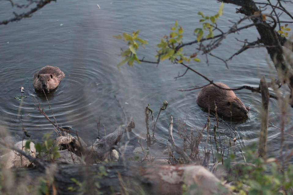 Beaver on Des Lacs Refuge
