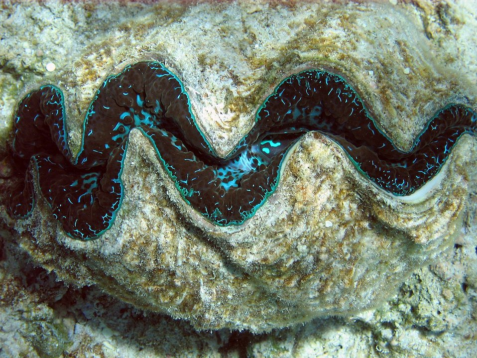 Giant clam (Tridacna sp.)