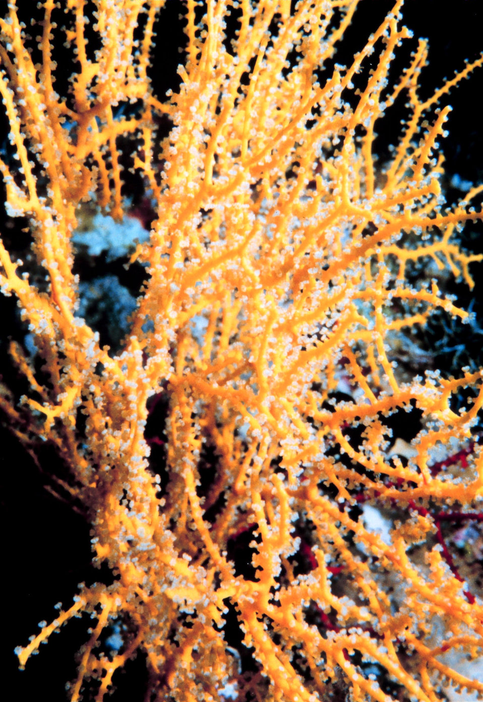 Yellow gorgonian
