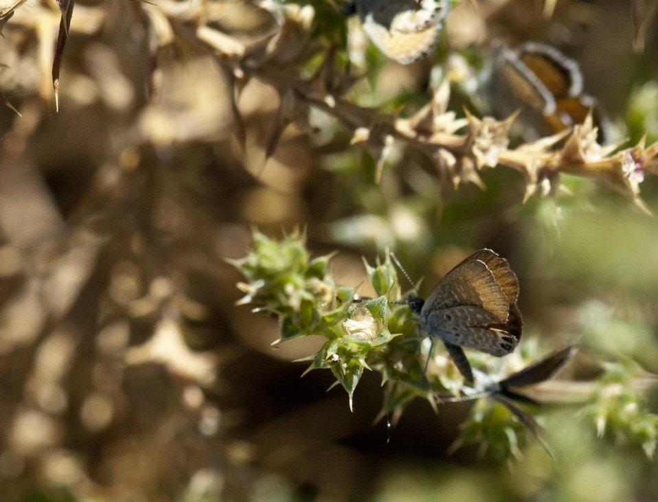 Western Pygmy Blue Butterfly 2