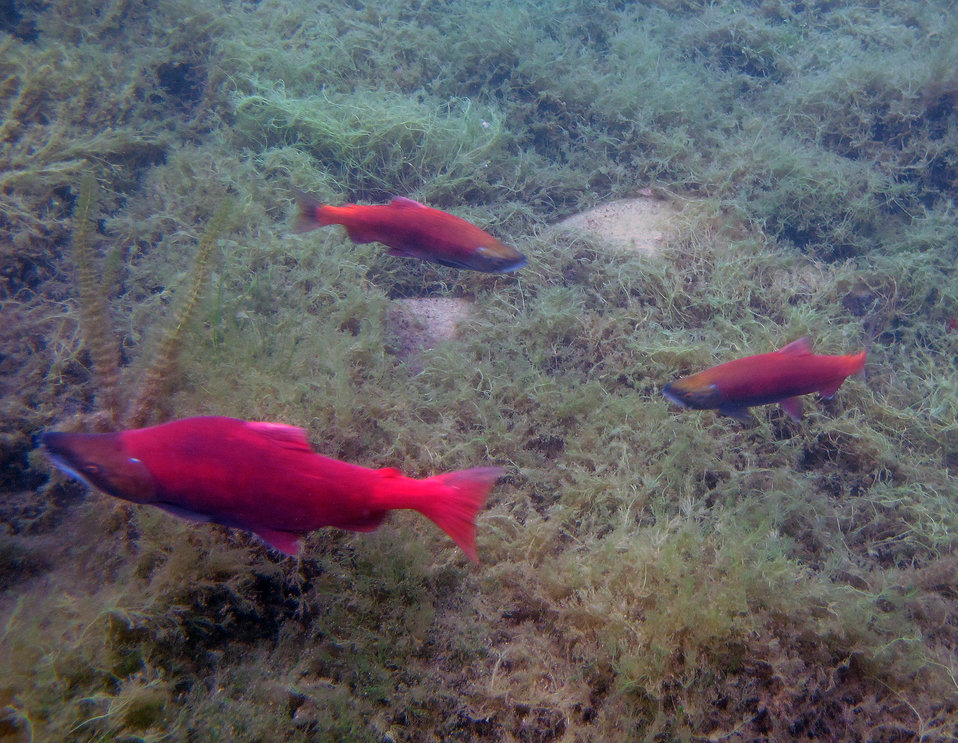 Sockeye life history variation in Hidden Lake
