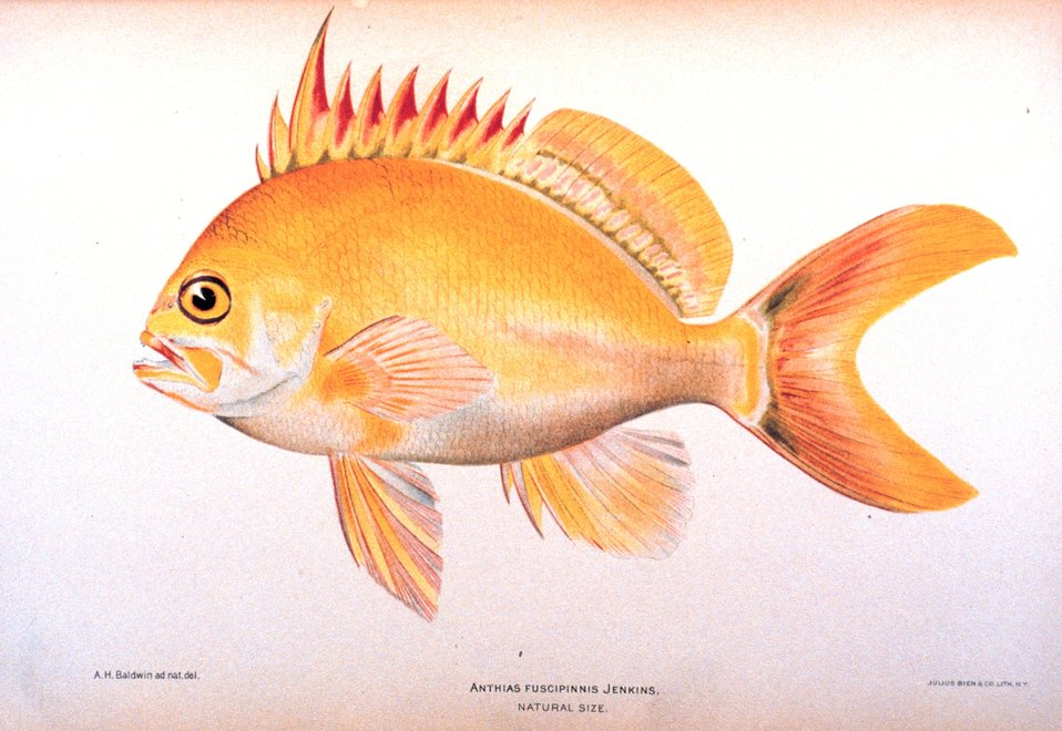 Anthias fuscipinnis Jenkins. In: 'The Shore Fishes of the Hawaiian Islands, with a General Account of the Fish Fauna', by David Starr Jordan and Barton Warren Evermann. Bulletin of the United States Fish Commission, Vol. XXIII, for 1903.  Part I. P. 57