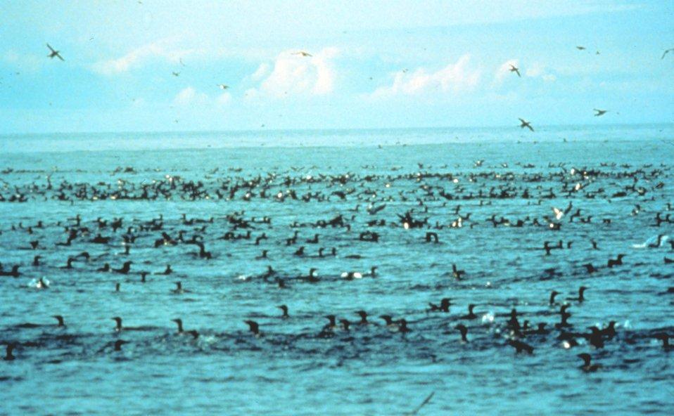 Marine birds feeding