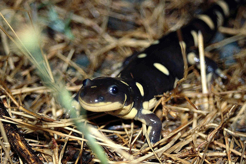 California Tiger Salamander 2