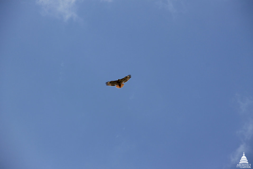 Hawk Above Capitol Grounds