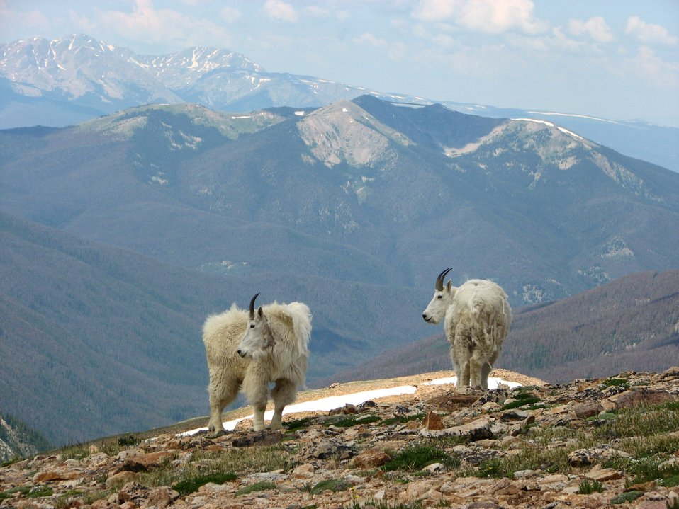 Mountain Goats on the Great Divide