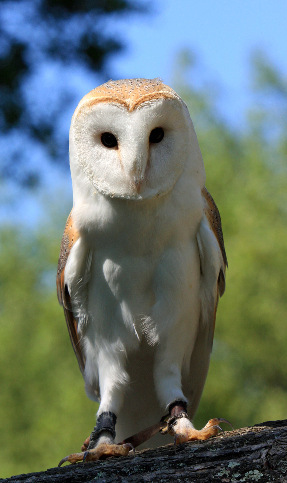 Barn owl portrait close-up