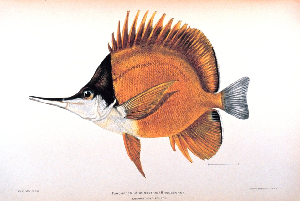 Forcipiger longirostris (Broussonet). In: 'The Shore Fishes of the Hawaiian Islands, with a General Account of the Fish Fauna', by David Starr Jordan and Barton Warren Evermann. Bulletin of the United States Fish Commission, Vol. XXIII, for 1903.  Part