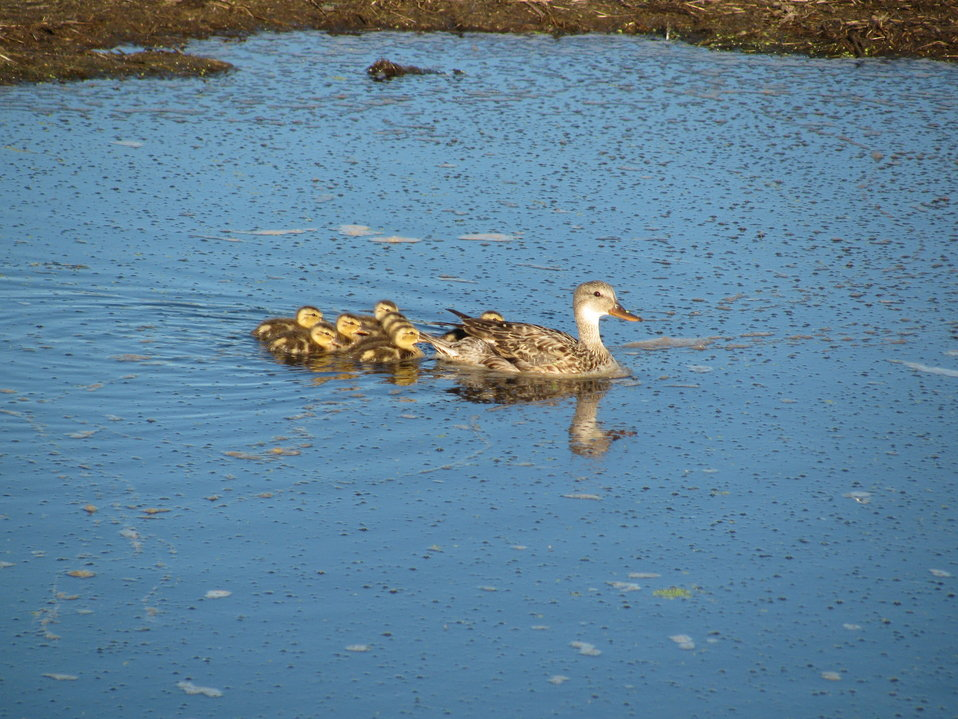 Gadwall Brood