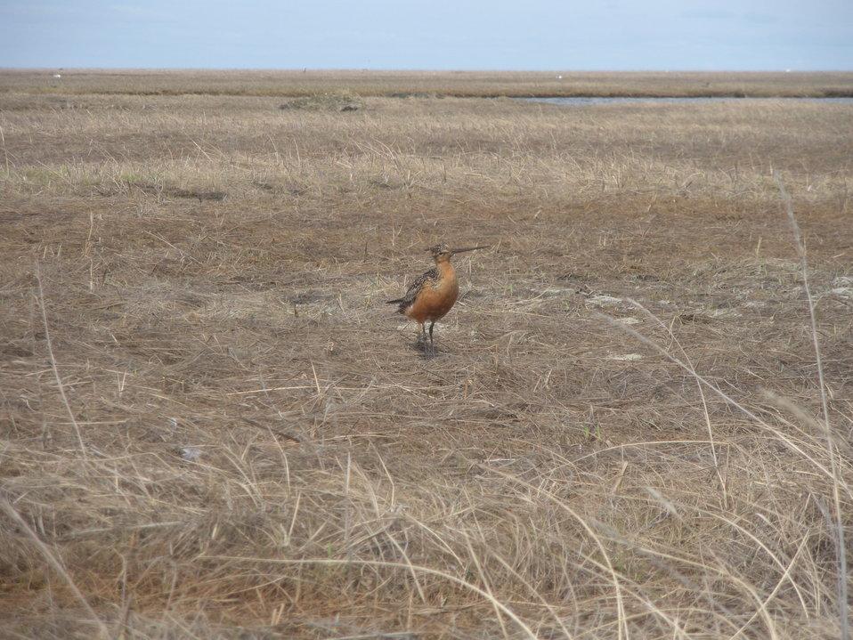 Male godwit vocalizing