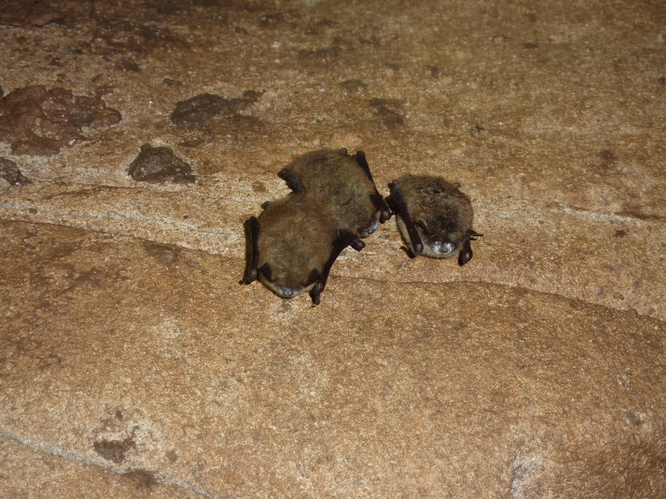 Little brown bats with white-nose syndrome, Trigg Co., KY