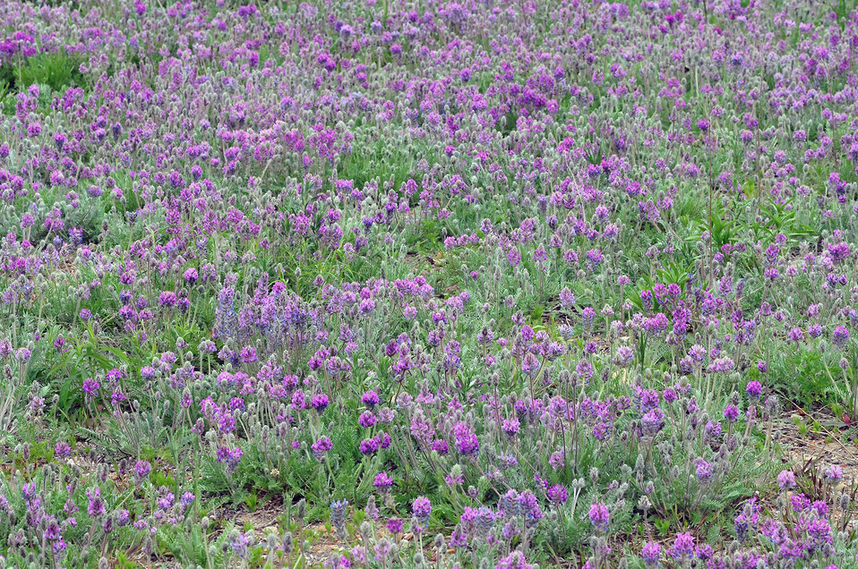 Expanse of Fassett's Locoweed