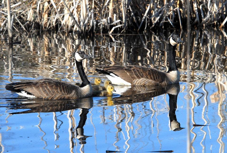 Canada Geese (brood)