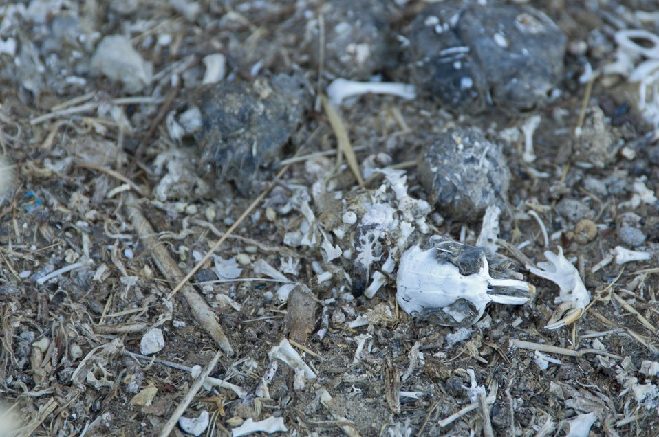 Boneyard of a Barn Owl, Carrizo Plain