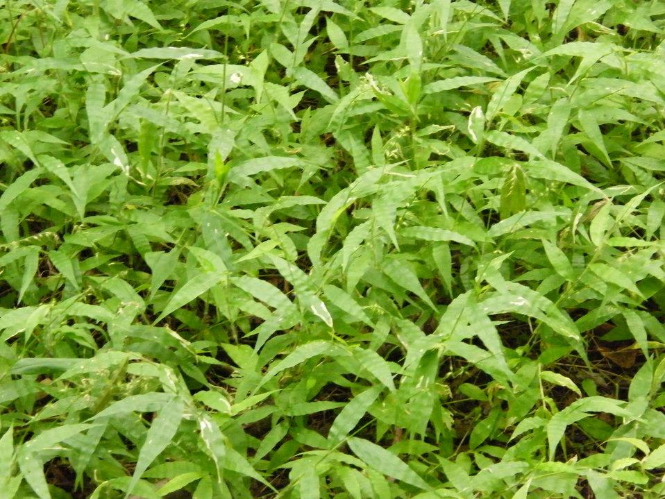 Invasive Wavyleaf Basketgrass
