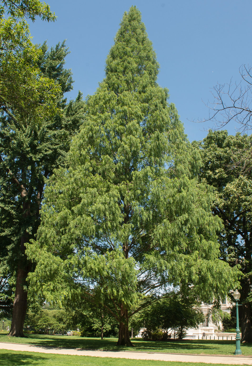 Dawn Redwood on the Capitol Grounds