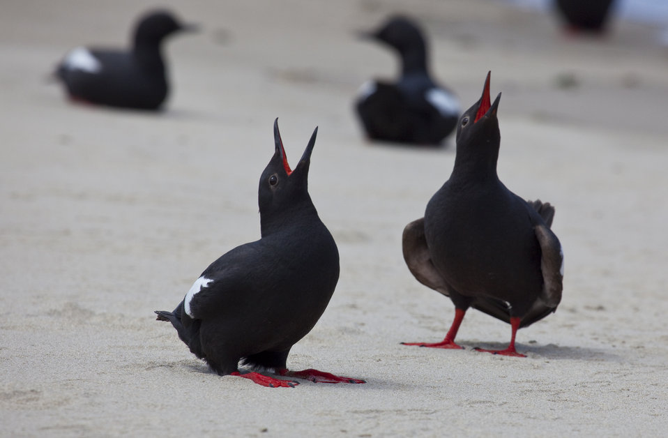Pigeon Guillemots' courtship display