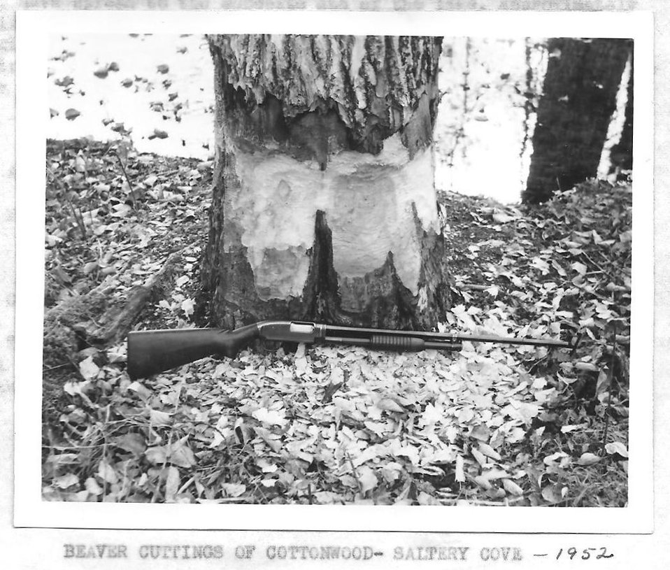 (1953) Beaver Cuttings of Cottonwood