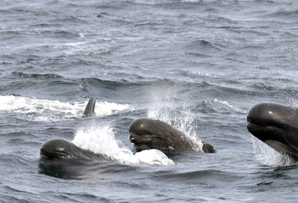 Photo of the Week - Long-finned Pilot Whales (RI)