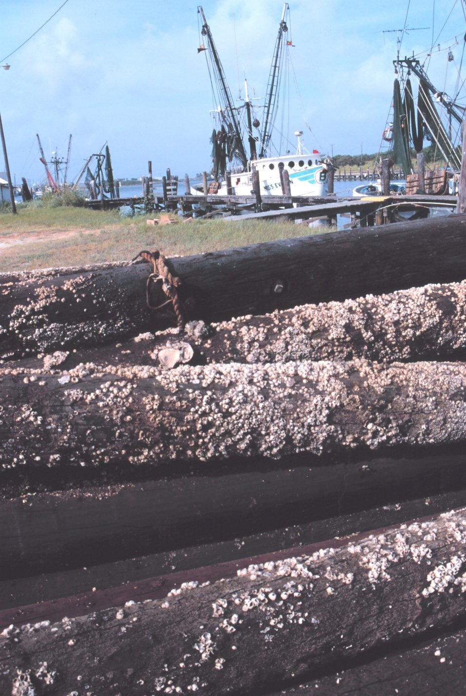Shrimp boats viewed over old barnacle-encrusted pilings at Conn Brown Harbor